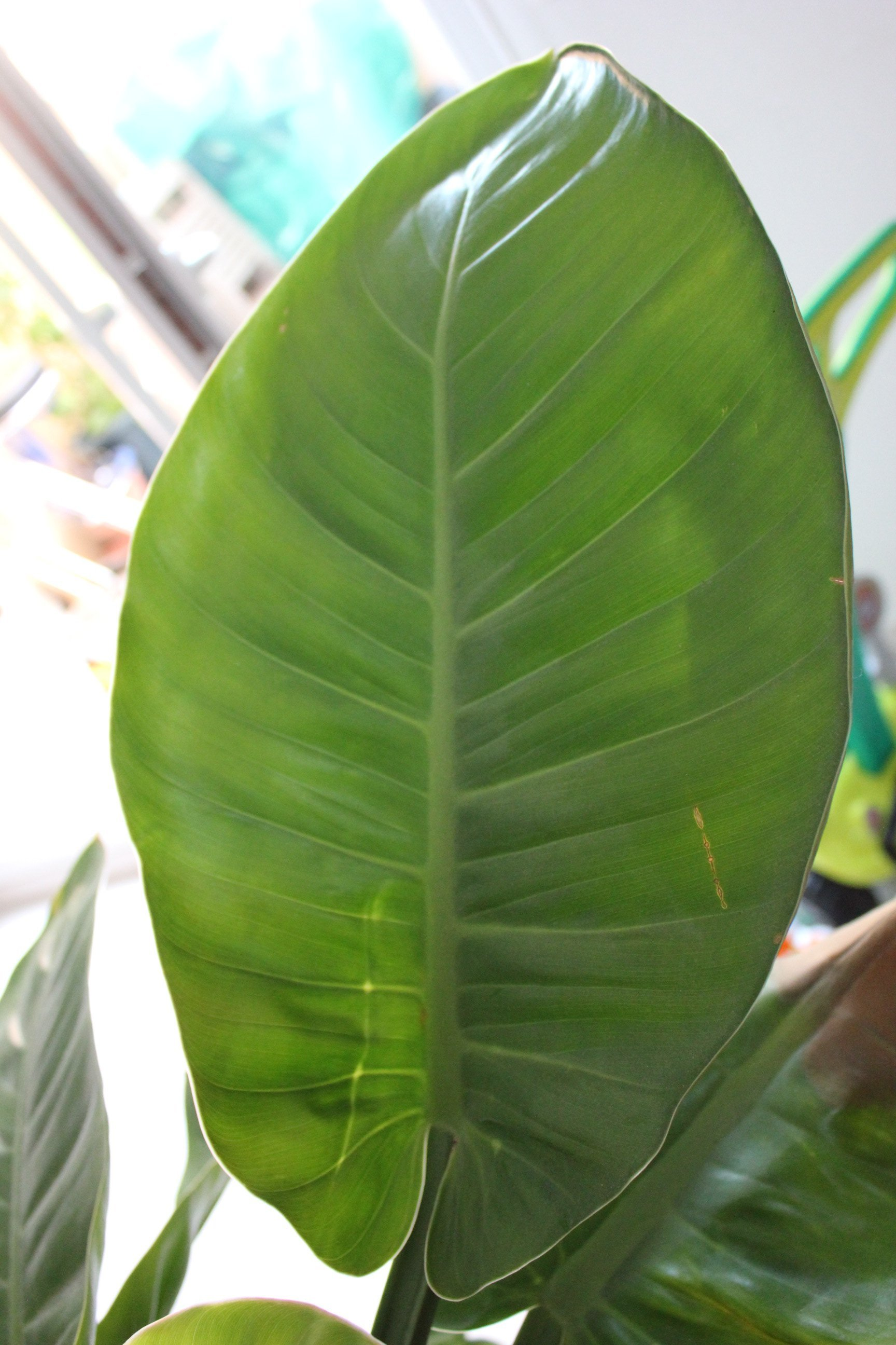 Identification Aracée [Philodendron sp] Original